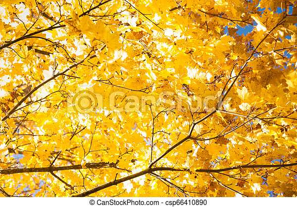 Bright autumn leaves of a maple tree on sky background. - csp66410890