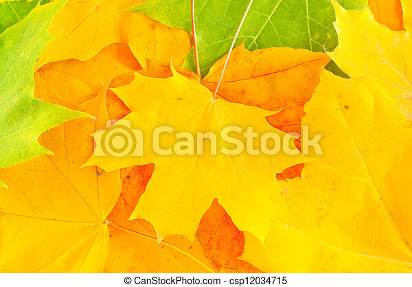 bright autumn leaves of maple - csp12034715