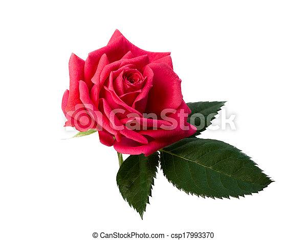 bright beautiful pink rose - csp17993370
