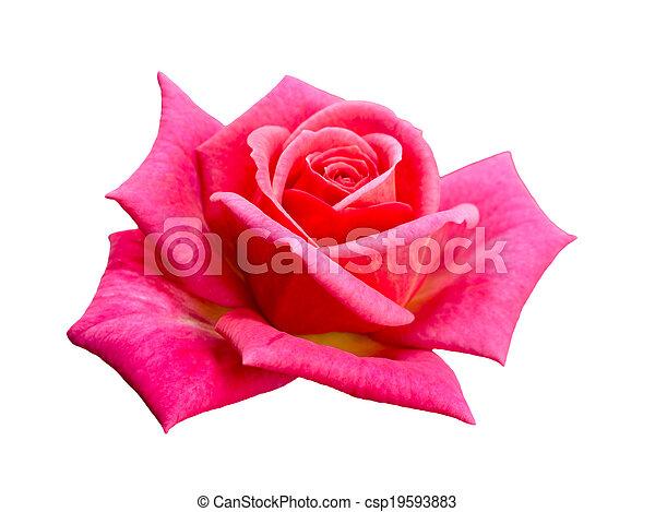 bright beautiful pink rose - csp19593883