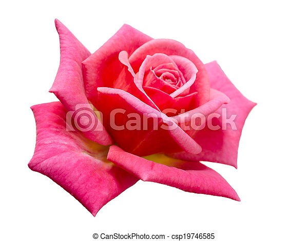 bright beautiful pink rose - csp19746585