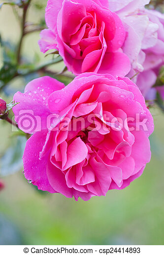 Bright beautiful pink rose shined with the sun - csp24414893