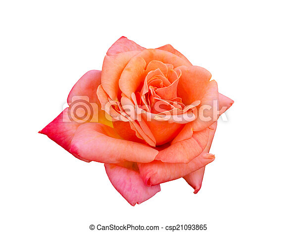 bright beautiful pink rose - csp21093865