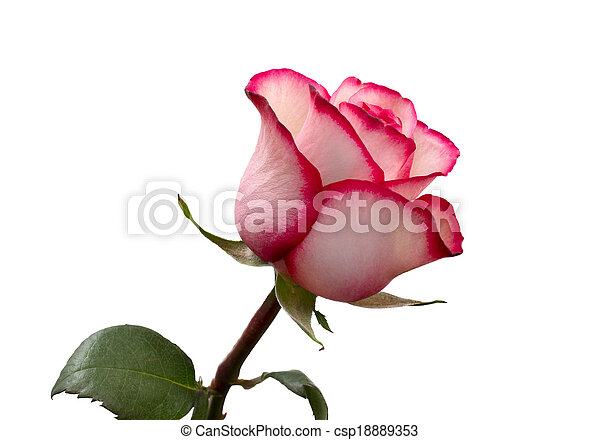 bright beautiful pink rose - csp18889353