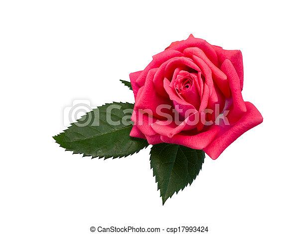 bright beautiful pink rose - csp17993424