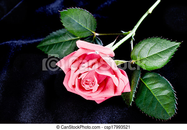 bright beautiful pink rose - csp17993521