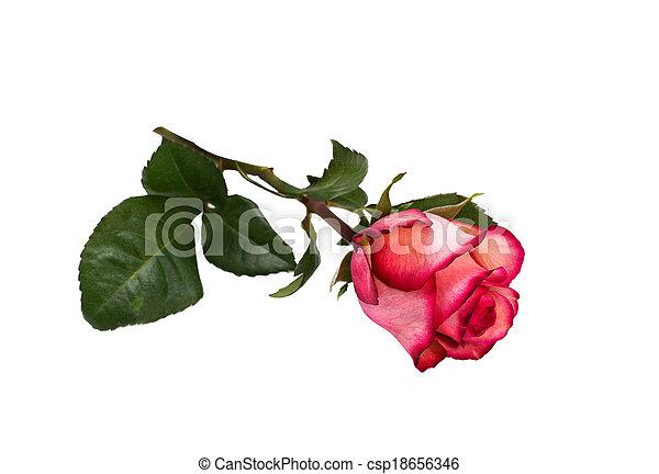 bright beautiful pink rose - csp18656346