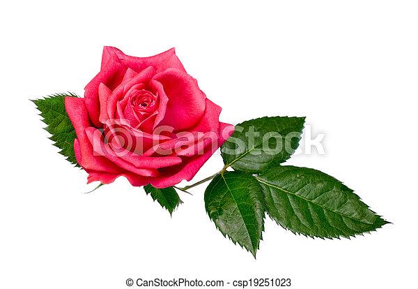 bright beautiful pink rose - csp19251023