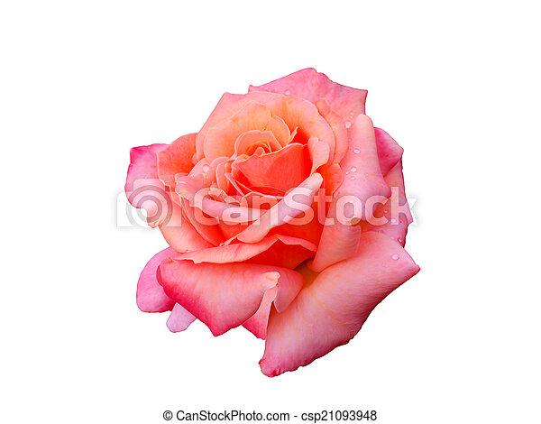 bright beautiful pink rose - csp21093948