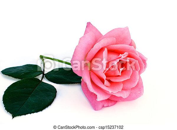 bright beautiful pink rose - csp15237102