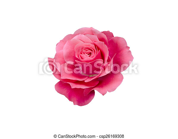 bright beautiful pink rose - csp26169308