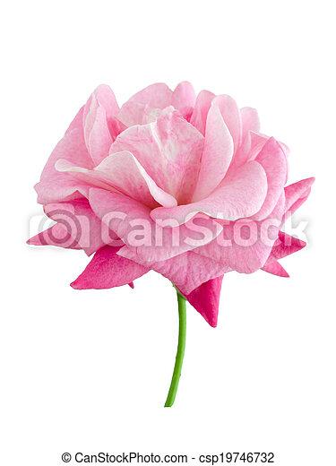 bright beautiful pink rose - csp19746732