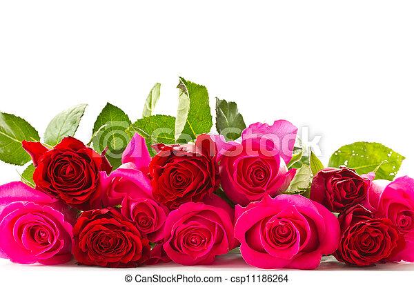 bright beautiful pink roses - csp11186264