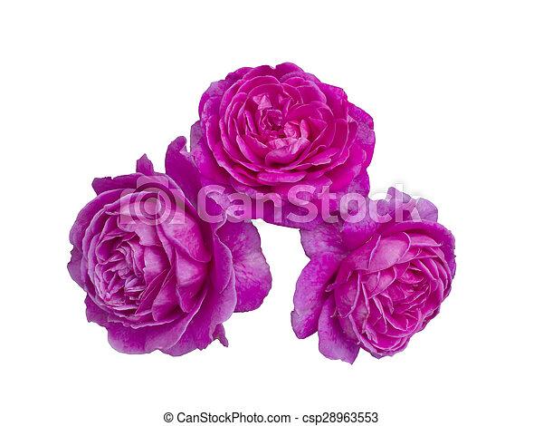 bright beautiful pink roses - csp28963553