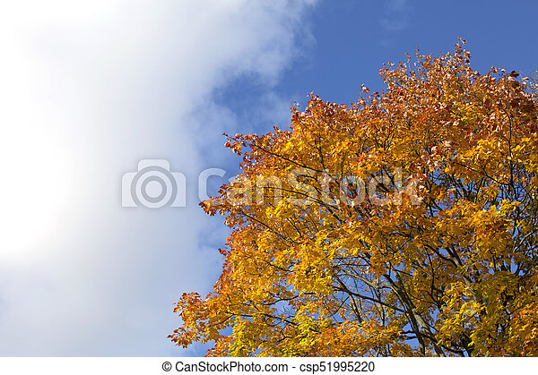 Bright blue autumn sky and orange maple tree background - csp51995220