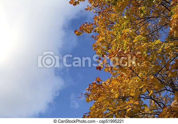 Bright blue autumn sky and orange maple tree background - csp51995221