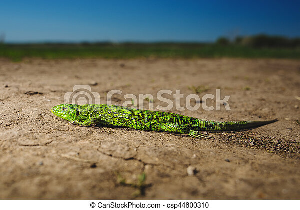 Bright green lizard close-up on ground - csp44800310