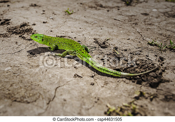 Bright green lizard close-up on ground - csp44631505