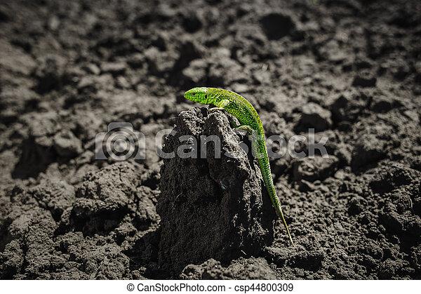 Bright green lizard close-up on ground - csp44800309