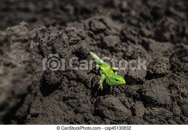 Bright green lizard close-up on ground - csp45130832