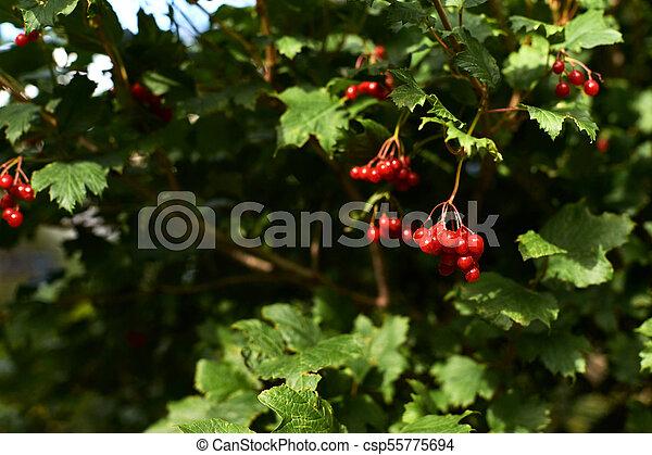 Bright Juicy Greens Tree Viburnum Small Red Berries