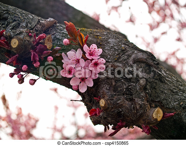 Bright Pink Clusters of Tree Blossoms in Springtime - csp4150865