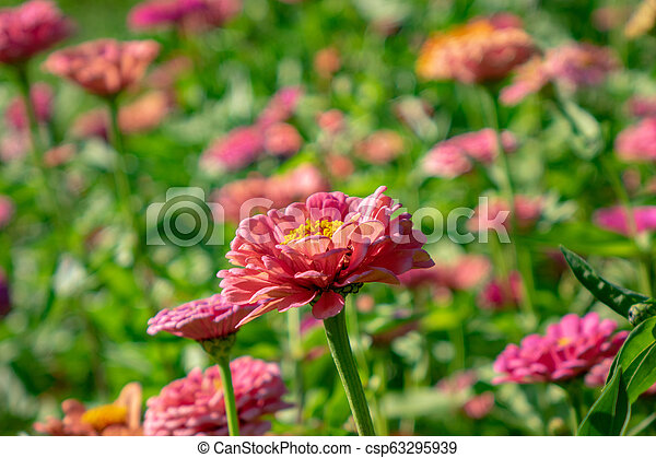 Bright Pink Flower Of Zinnia In A Rustic Garden On A Sunny Summer