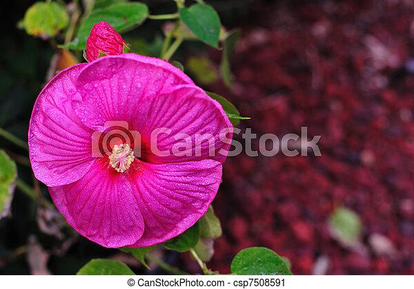 Bright Pink Hibiscus - csp7508591