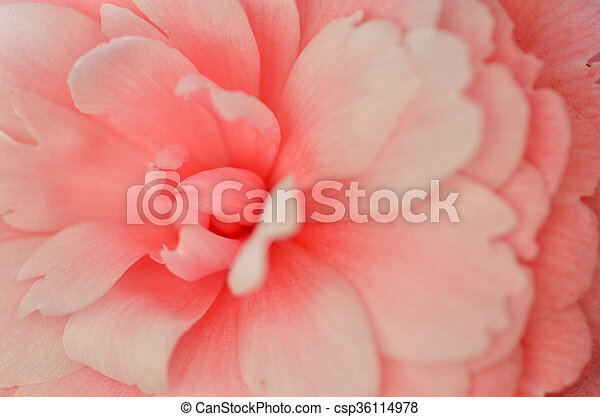 Bright pink Japanese camellia flower in bloom - csp36114978