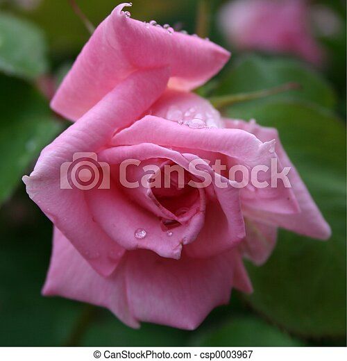 Bright Pink Rose - csp0003967