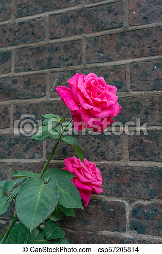 Bright pink roses in full bloom against old brick wall - csp57205814