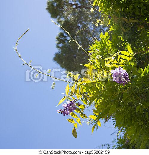 Bright Purple Flowers Of Acacia