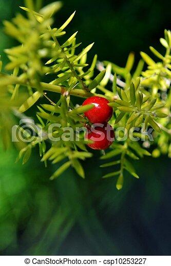 bright red berries - csp10253227