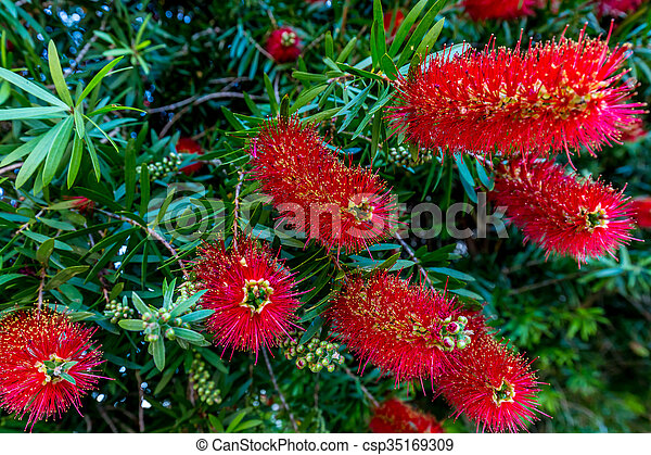 Bright Red Blossoms on a Bottlebrush Tree in Texas. - csp35169309