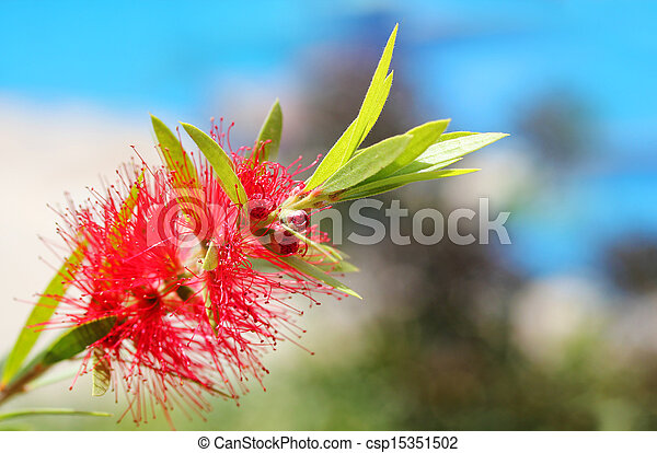 bright red bottle brush(Callistemon) flower with sky in background. This brilliant, pretty flower cluster is cylindrical in shape with red colored stamens - csp15351502