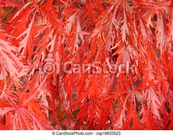 Bright Red Laceleaf Maple - csp16633523