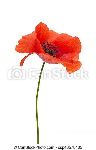 Bright red poppy flower isolated on white background bright red poppy flower isolated on white csp48578405 mightylinksfo