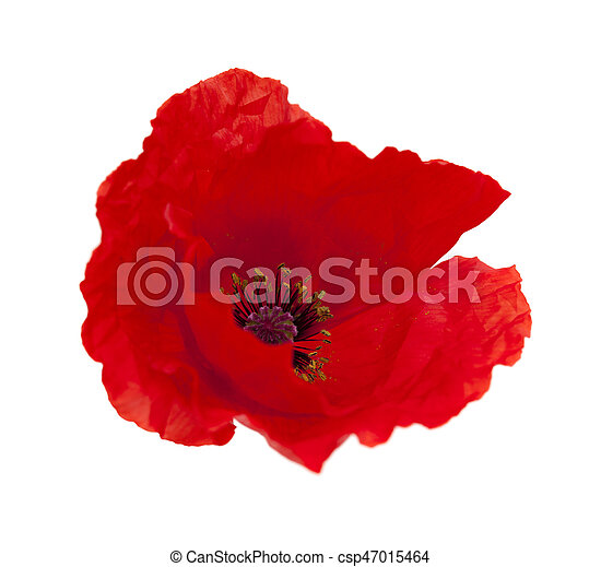 Bright red poppy isolated on white bright red poppy flower isolated bright red poppy isolated on white csp47015464 mightylinksfo