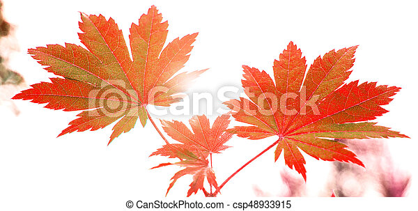 bright red wedge leaves in the sunshine, - csp48933915