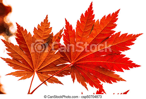 bright red wedge leaves in the sunshine, - csp50704873