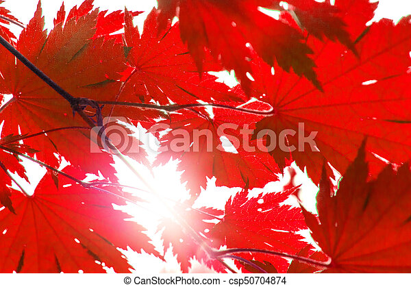 bright red wedge leaves in the sunshine, - csp50704874