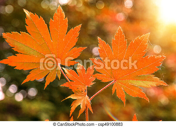 bright red wedge leaves in the sunshine, - csp49100883