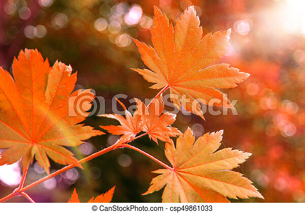 bright red wedge leaves in the sunshine, - csp49861033