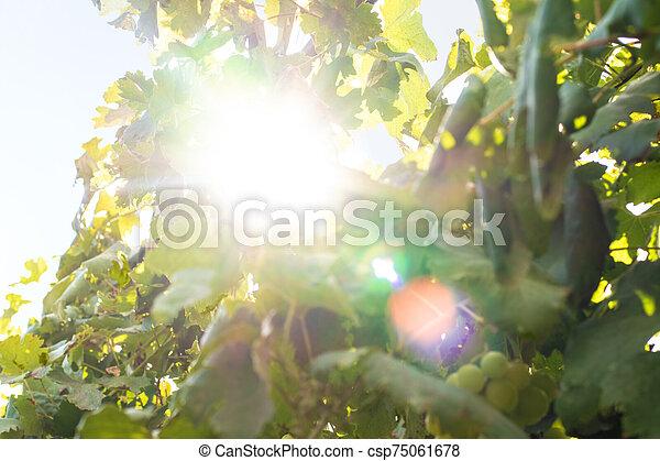 Bright sun shines in the vine bushes - csp75061678