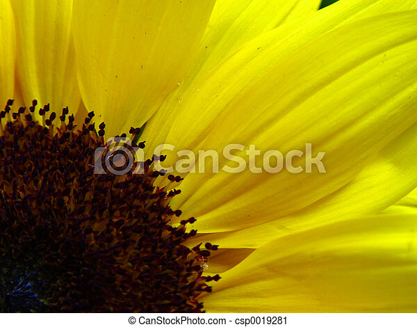 Bright Sunflower - csp0019281