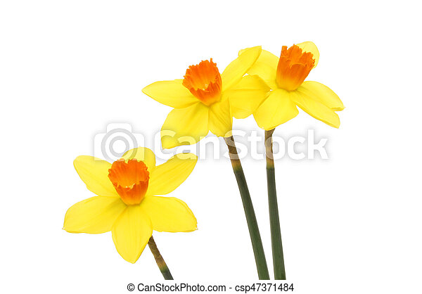 Bright yellow Daffodil flowers - csp47371484