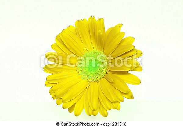 Bright Yellow Daisy - csp1231516