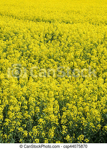 Bright yellow field of rapeseed or canola oil flowers in france a bright yellow field of rapeseed or canola oil flowers in france csp44075870 mightylinksfo