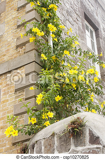 Bright yellow flowers on vine up old wall a vine with bright yellow bright yellow flowers on vine up old wall csp10270825 mightylinksfo