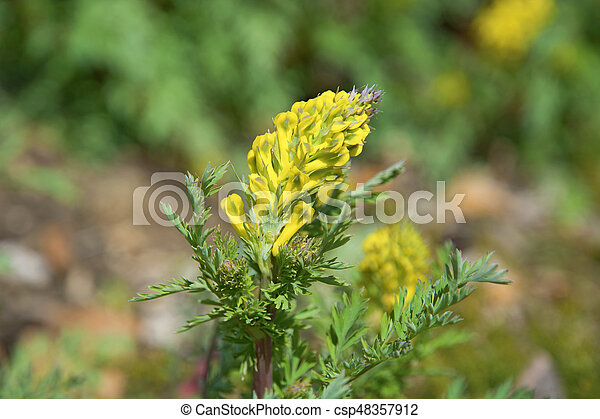 Bright Yellow Flowers Succulent Shrub With Yellow Flowers Bright